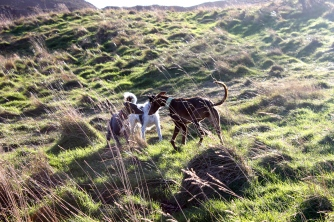 Dogs playing on Scottish cliffs on the edge of Edinburgh.